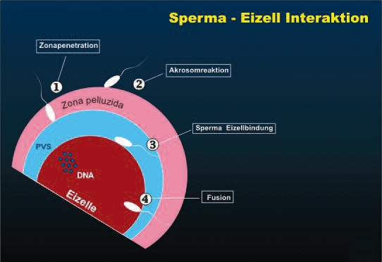 Sperma-Eizell-Interaktion